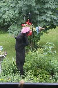bear at feeder