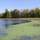 Otty lake green algae